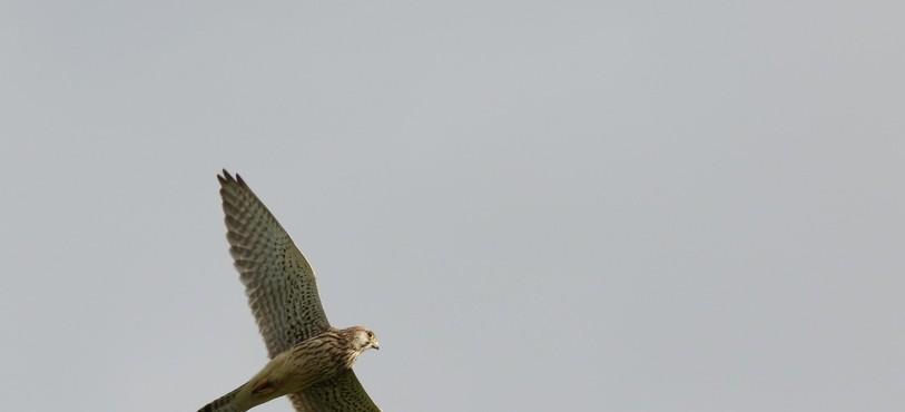 Faucon crécerelle femelle