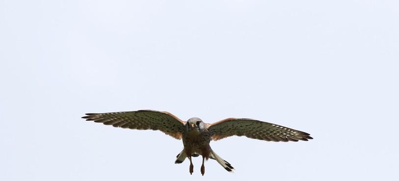 Faucon crécerelle qui fait le vol du Saint-Esprit