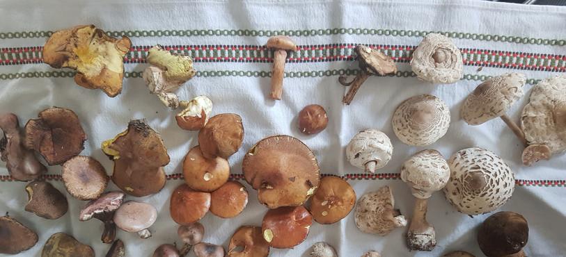 Récolte champignons