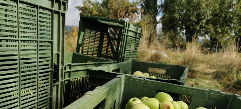 La récolte de pommes 2020 s'annonce prometteuse