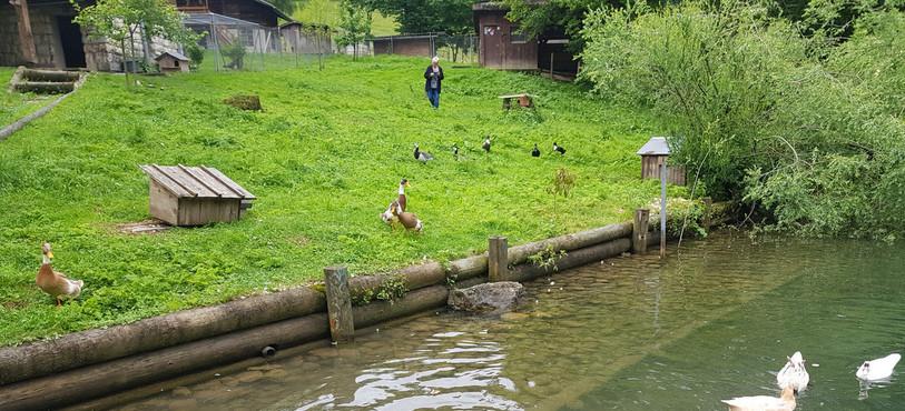 Les canards s'acclimatent bien dans le Parc ornithologique à Bévilard