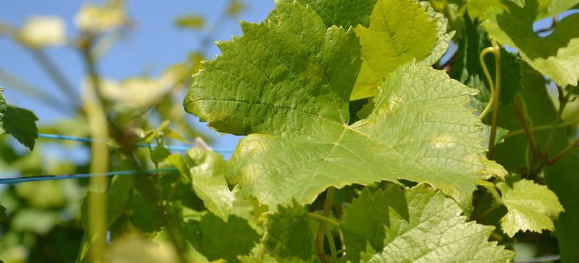 """""""Tâches d'huile"""" formées sur les feuilles atteintes de mildiou"""