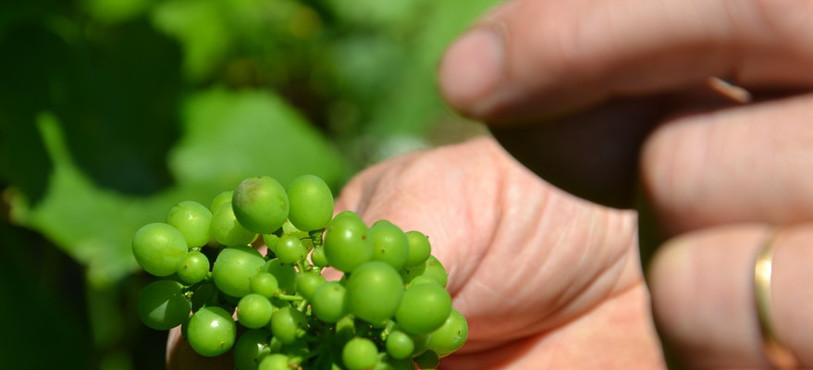 Conséquences du mildiou sur un grain de raisin