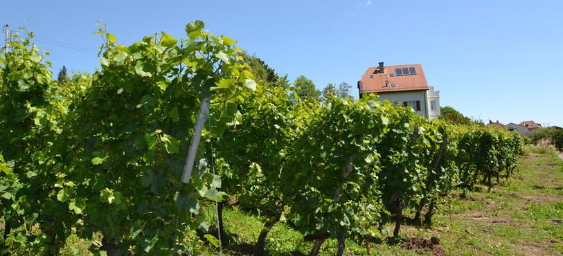 Plants de vigne à Auvernier