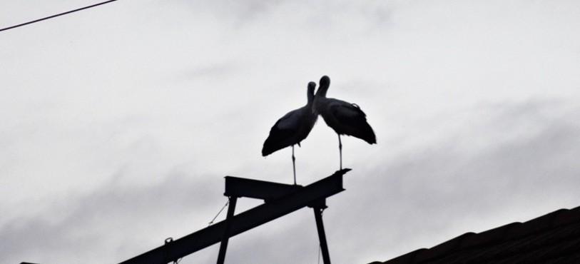 Cigognes à Vendlincourt © Chéryl Gassner