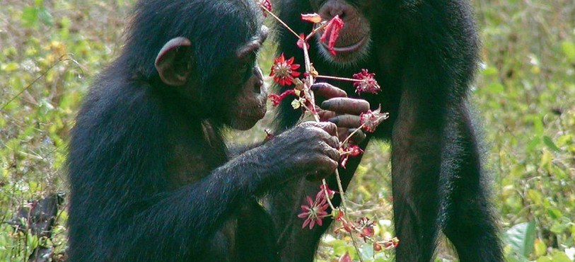 Chimpanzés de Côte d'Ivoire
