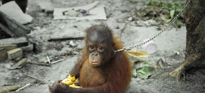 Orang-outang de Bornéo